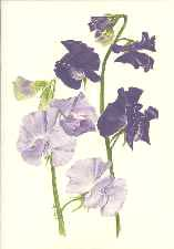 blue sweet pea greeting card