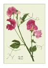 Notelets £6, Series 1 - Sweet Peas