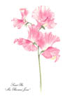 Notelets £6, Series 2 - Exhibition Sweet Peas