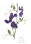 Notelets £6, Series 2 - Heirloom Sweet Peas