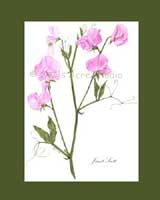 Print £15, Heirloom Sweet Pea - 'Janet Scott'
