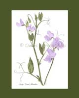 Print £15, Heirloom Sweet Pea - 'Lady Grisel Hamilton'