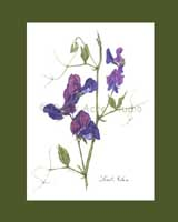 Print £15, Heirloom Sweet Pea - 'Lord Nelson'