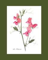 Print £15, Heirloom Sweet Pea - 'Miss Willmott'