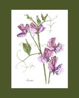 Print £15, Heirloom Sweet Pea - 'Senator'